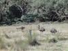 Emu meets Kangaroo