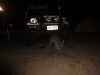 Ein Kangaroo grast unter unserem Auto