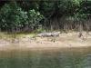 Krokodil am Daintree River