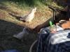 Kakadufütterung in Exmouth auf dem Campingplatz