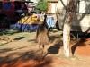 Ein Emu ist neidisch auf Mamas Zelt