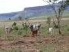 wilde Kühe