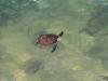Schildkröte in den Gewässern am Skipjack Point