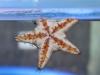 Ein Seestern im Aquarium bei Denham