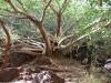 Der Weg zum Fernpool führt an spektakulären Bäumen vorbei
