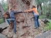 Dicke Bäume