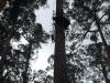 Bicentral Tree 75m