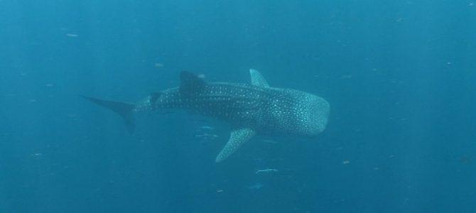 Whalesharks, die größten Fische der Welt!